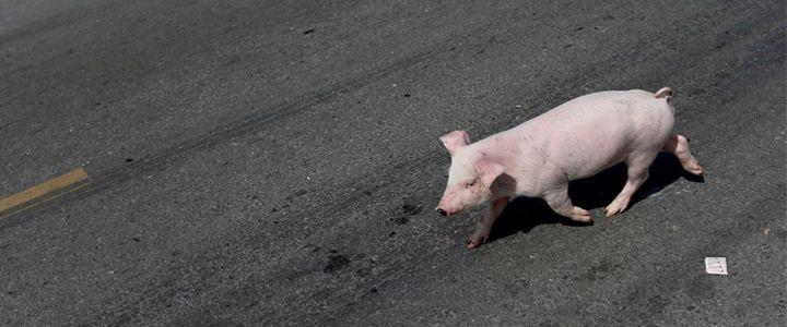 Caminhão com porcos tomba e ativistas são impedidos de resgatar sobreviventes