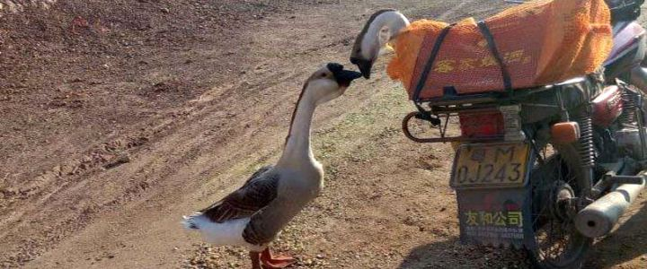 Casal de gansos se despede antes de a fêmea ser levada para abate