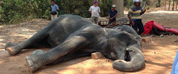 Elefante morre após carregar turistas sob calor escaldante