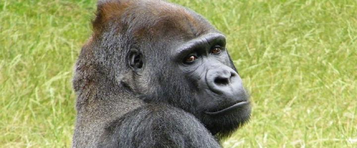 Especialistas em animais contestam decisão do Zoológico nos EUA que matou o Gorila Harambe