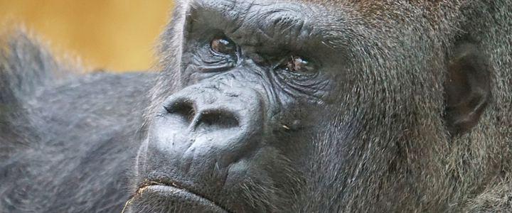 Gorila morto em Zoológico nos EUA tentou proteger criança, afirmam testemunhas