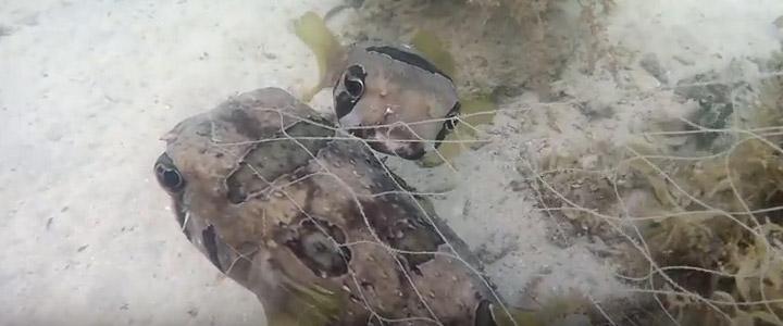 Peixe não abandonou amigo preso em rede de pesca