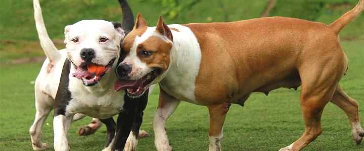 Proibição de pit bulls em Montreal (Canadá) está suspensa por tempo indeterminado