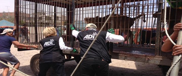 Resgate internacional leva 33 leões para santuário na África