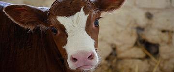 """Indústria leiteira se reúne para discutir """"combate ao ativismo vegano"""""""