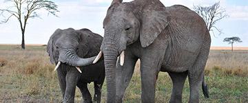 Mega apreensão de marfim dá origem à petição internacional pela proibição do comércio em Hong Kong