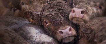 UOL divulga investigação sobre crueldade com animais criados para abate exportados pela Europa