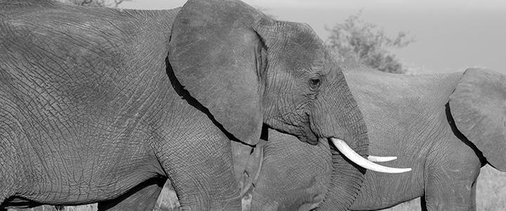 Yahoo está apoiando venda de marfim no Japão